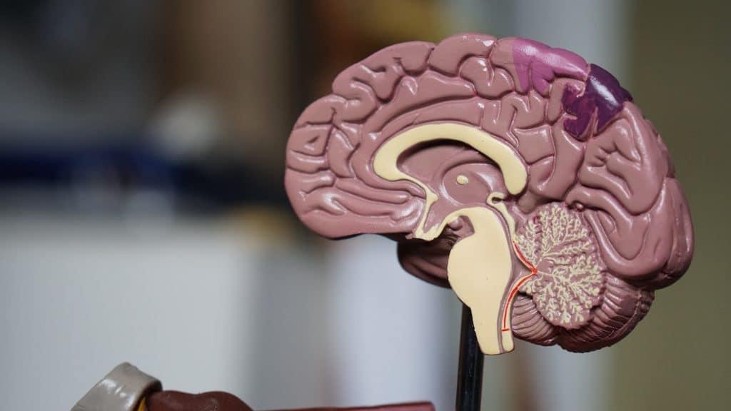 Découpe anatomique cerveau humain
